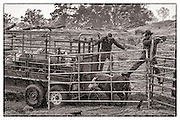 Paniolos Sheldon Mattos on left and Tyler Cran on right nudge wild cattle into trailer for transport up mountain.