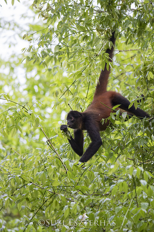 Black-handed Spider Monkey<br /> Ateles geoffroyi<br /> Osa Peninsula, Costa Rica