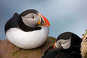 Two Atlantic puffins (Fratercula arctica) share a rocky ledge in Látrabjarg, Iceland. Puffins form huge colonies in Iceland during the spring breeding season, then scatter all over the Atlantic Ocean.