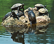 Turtles sunning on a rock in Sarusawa pond near Kofukuji temple in Nara, Japan.