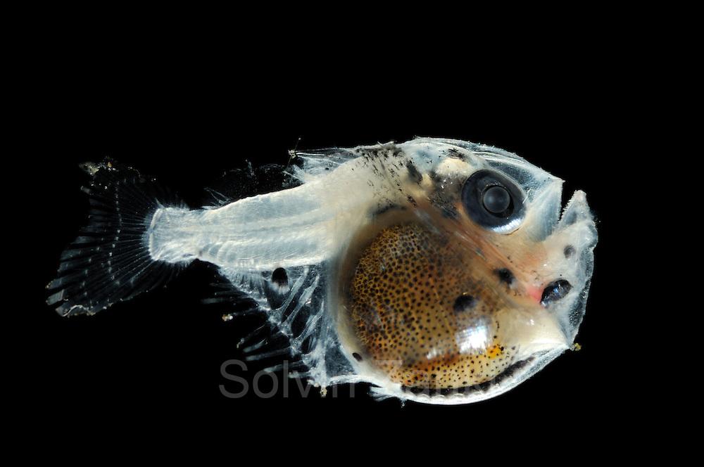 Juvenile deep-sea hatchetfish, genus Argyropelecus olfersi | Ein juveniler Beilfisch (Argyropelecus olfersi). Diese Fische leben in Tiefen bis zu 800 m. Während der Nacht steigen sie aber in flachere Wasserschichten bis 100 m unter der Wasseroberfläche auf. Als Anpassung an dieses Leben in der Dämmerlichtzone hat der Beilfisch große Augen und an der Bauchseite eine Reihe von Leuchtorganen. Das bläuliche Licht an seiner Unterseite tarnt den Beilfisch, wenn Räuber von unten gegen das schwache Licht der fernen Oberfläche nach Beute suchen.