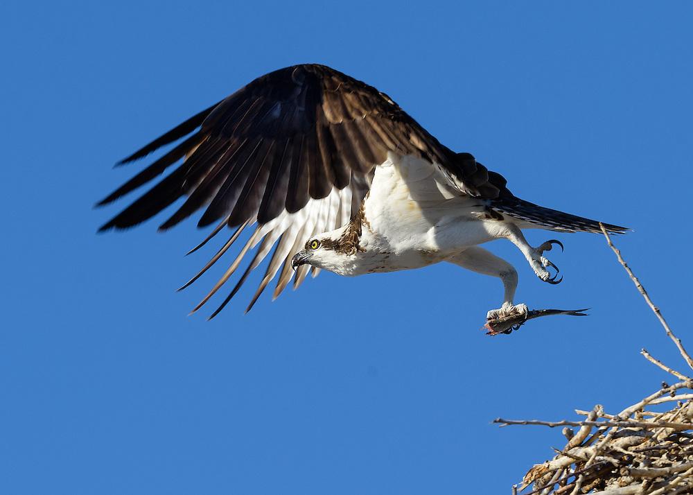 Osprey (Pandion haliaetus) in flight with half eaten fish, Longmont, Colorado