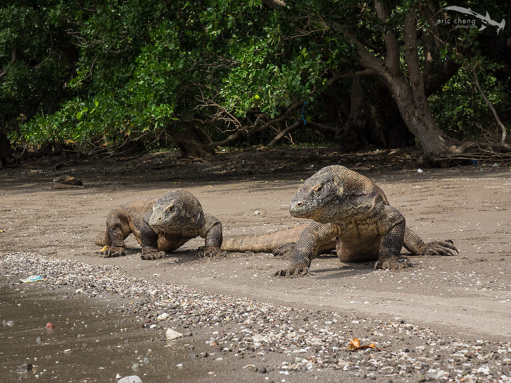 Two Komodo dragons (Varanus komodoensis) on the beach on Rinca in Horseshoe Bay, Komodo National Park, Indonesia