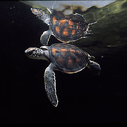 Turtle, save from fishing nets