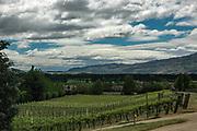 Vineyards, Olssens