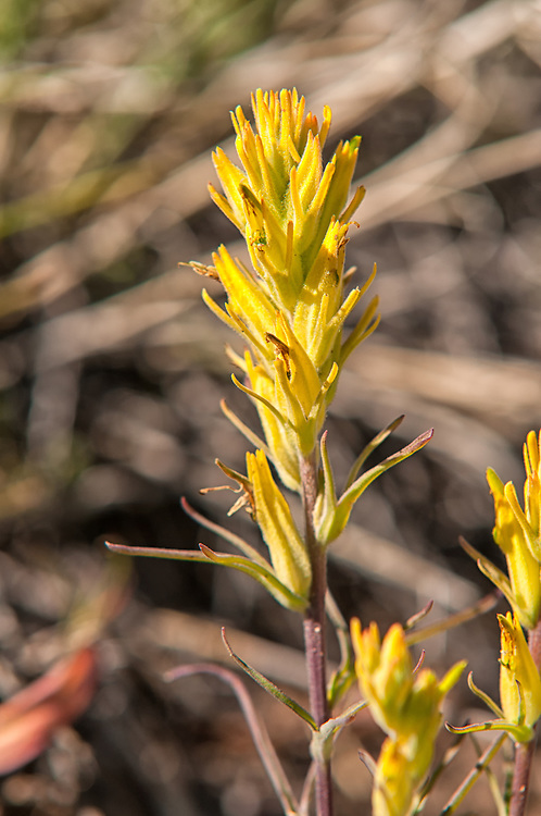 This lemony-yellow Indian paintbrush is a member of the broomrape family of paintbrushes that are found across much of the United States at high elevations. This one was photographed deep in rural Central Wyoming.