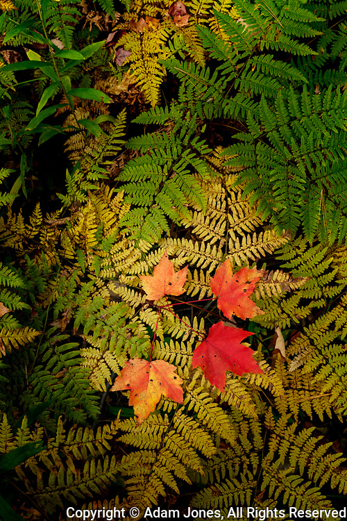 Red Maple leaves on ferns, Hiawatha National Forest, Upper Peninsula of Michigan.