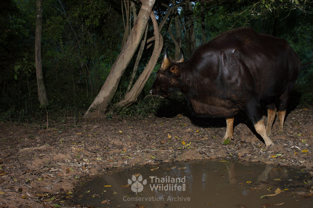 The gaur (Bos gaurus), called the Krating in Thailand, is the largest extant bovine. This species is native to the Indian Subcontinent and Southeast Asia. It has been listed as Vulnerable on the IUCN Red List since 1986. Population decline in parts of its range is likely to be more than 70% during the last three generations. However, Thai population trends are stable in well-protected areas, and are increasing in a Kaeng Krachan National Park.