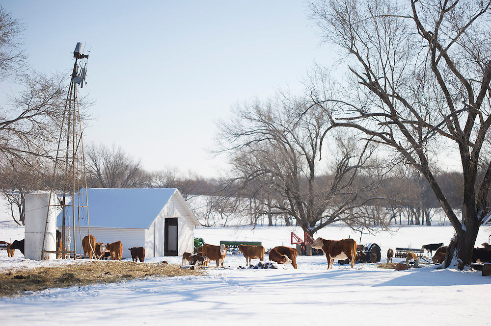 Cattle in the snow following a sudden winter storm in central Oklahoma.