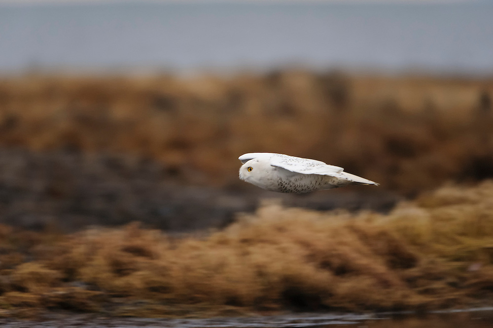 Flying Snowy Owl, Pacific Northwest
