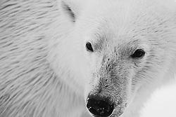 Black and white close-up of polar bear adult (Ursus maritimus), Spitsbergen, Northwest Coast of the Svalbard Archipelago, Norway