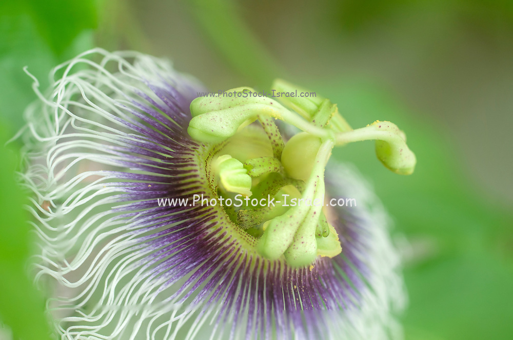 Close up of a Blossom of a Passion Fruit (granadilla or Passiflora edulis)