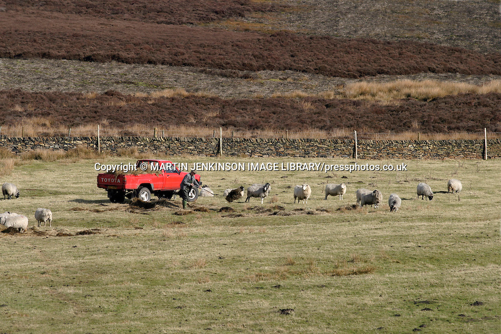 Farmer feeding sheep in the Peak District National Park Derbyshire ....