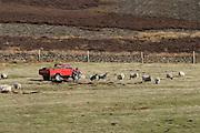 Farmer feeding sheep in the Peak District National Park Derbyshire ....