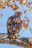 Red-tailed hawk perched on a cottonwood branch, with late autumn leaves, prey feather stuck to its beak. © 2011 David A. Ponton