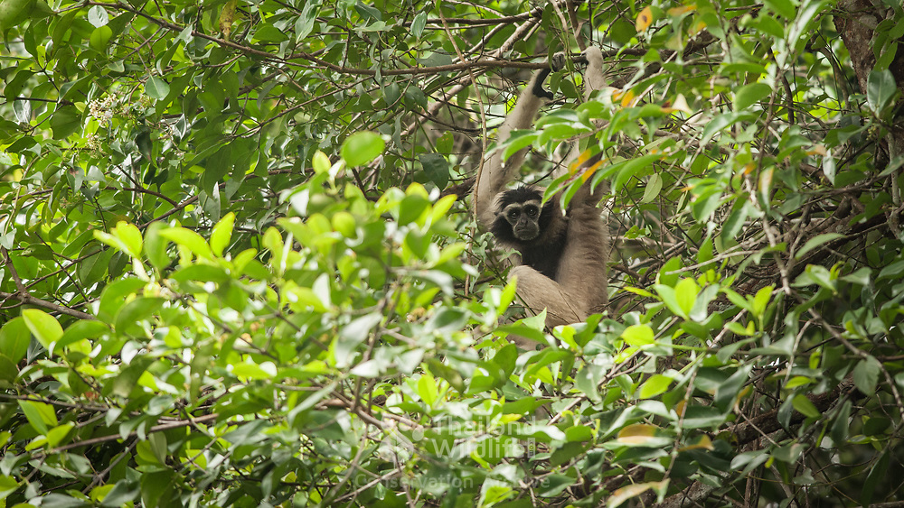 Pileated Gibbon (Hylobates pileatus) adult female in Khao Yai national park, Thailand