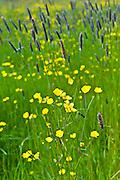 Buttercups in a wildflower meadow, County Cork, Ireland