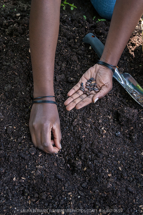 Closeup on the hands of an African-American gardener planting seeds in rich garden soil.
