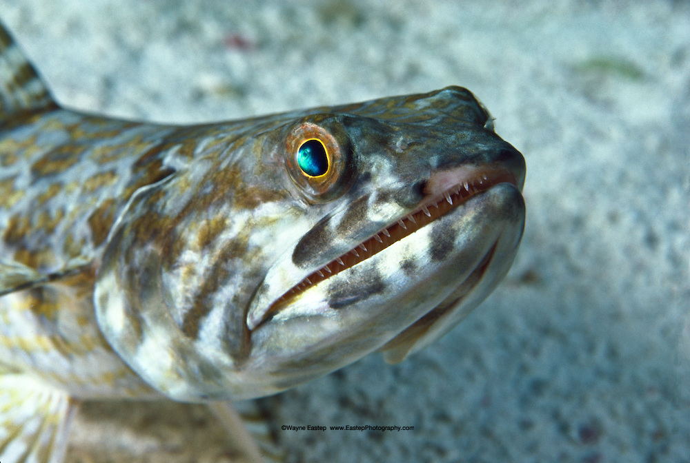 Bluestriped Lizardfish (Synodus saurus).  The lizardfish will lie on the sand bottom or camouflaged just beneath it, and when an unsuspecting fish comes by will launch itself in an attack.  Bonaire