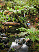 A hiker enjoys lush tree ferns by a creek in Mount Field National Park, Tasmania, Australia. The Tasmanian Wilderness was honored as a UNESCO World Heritage Site in 1982, expanded in 1989. Published in Wilderness Travel Catalog of Adventures 2014.