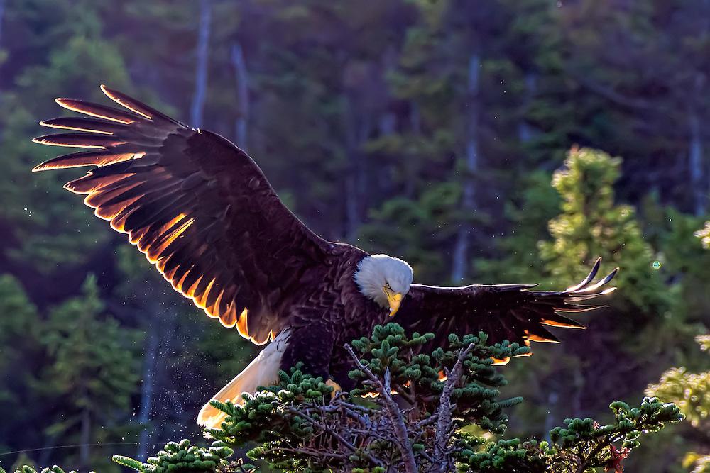 Bald Eagle -  Haliaetus leucophalus illuminated by backlit sun