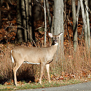 A White-tailed Deer Doe, Odocoileus virginianus, at the edge of a woodland road in Autumn. Rifle Camp Park, Woodland Park, New Jersey, USA, North America.