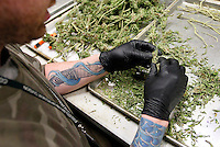 Brian (no last name given) a trimmer, cleans up marijuana buds in a medical marijuana center in Denver April 2, 2012.  With Colorado voters set in November to decide whether to defy the federal government and legalize marijuana for recreational use under state law, the enforcement division could play a key role in bringing a black market pot trade out of the shadows.  REUTERS/Rick Wilking (UNITED STATES)
