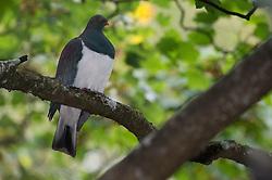 New Zealand Pigeon (Hemiphaga novaeseelandiae) is a bird endemic to New Zealand