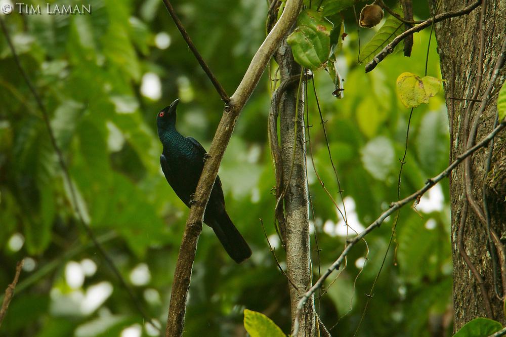 Jobi Manucode (Manucodia jobiensis)<br />foraging for figs at a climbing (liana) species of Ficus.