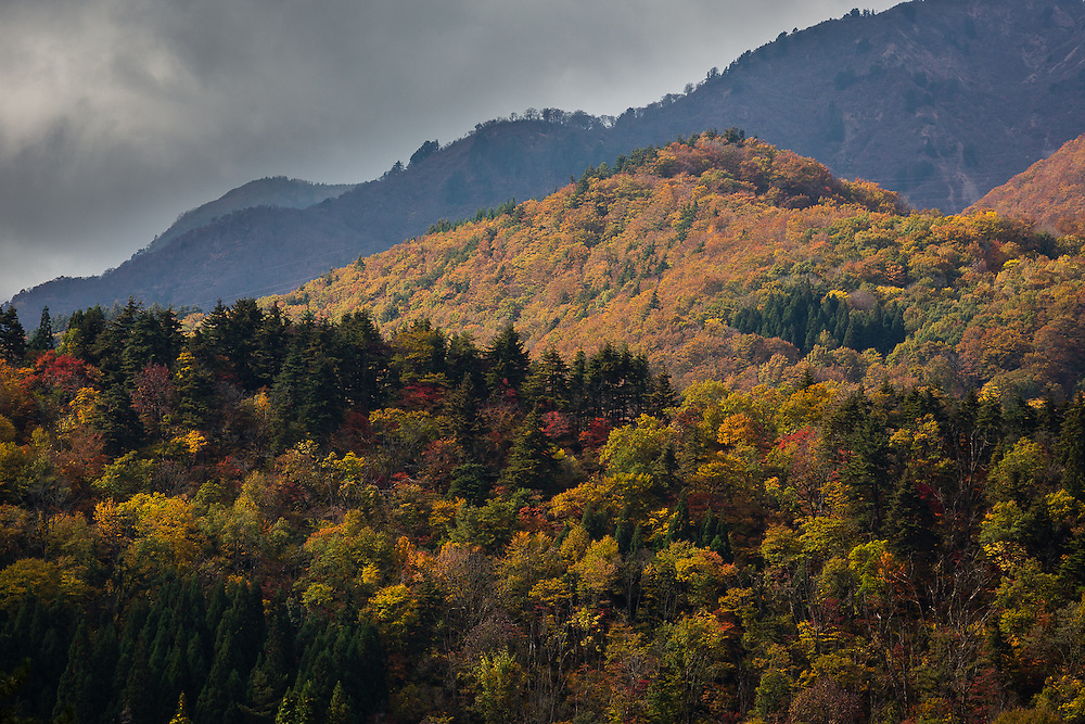 During Autumn, the woods in the mountains surrounding Ogimachi village turn to several shades of green, organge and red.