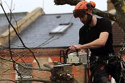 UK ENGLAND LONDON 11DEC13 - A tree surgeon prunes a sycamore tree in Shirland Road, Westminster, west London.<br /> <br /> jre/Photo by Jiri Rezac<br /> <br /> &copy; Jiri Rezac 2013