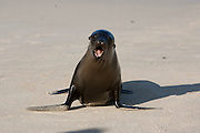 SAN CRISTOBAL, GALAPAGOS ISLANDS, ECUADOR: August 18, 2005 -- GALAPAGOS ISLANDS DAY 2  -- An agitated Galápagos Sea Lion (Zalophus wollebaeki) charges on San Cristobal island on Day 2 in the Galapagos Islands, Ecuador August 18, 2005...Steve McKinley Photo.