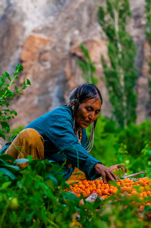 """A woman of the Brokpa tribe in the remote Dahanu Valley collects apricots. The valley is known as the """"Land of the Aryans"""" as the people there are considered the purest descendants of the ancient Indo-Europeans; Ladakh; Jammu and Kashmir State; India."""