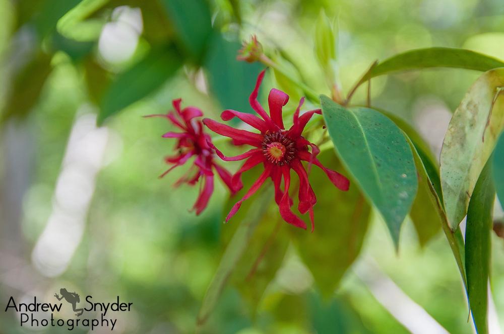 Star Anise (Illicium sp.) - Pascagoula, Mississippi