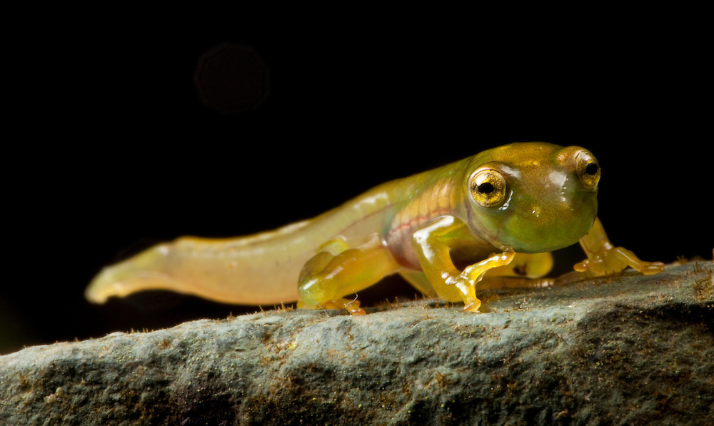 Emerald glass frog, Espadarana prosoblepon, metamorph on a rock in the Choco Department of Colombia. Frogs are the largest animals to undergo such a complete metamorphosis as that from egg through tadpole to adult.
