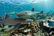 White-tip Reef Sharks, Triaenodon obesus, and Black tip Reef Sharks, Carcharhinus melanopterus, prowl the shallows of coral reef in Beqa Lagoon, Fiji.
