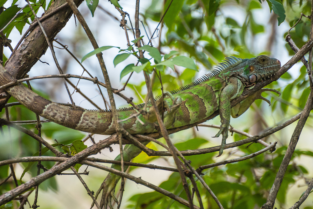 Tree iuguana is laying on the branch of a tree in the Pakaraima mountains, Rupununi, Guyana.