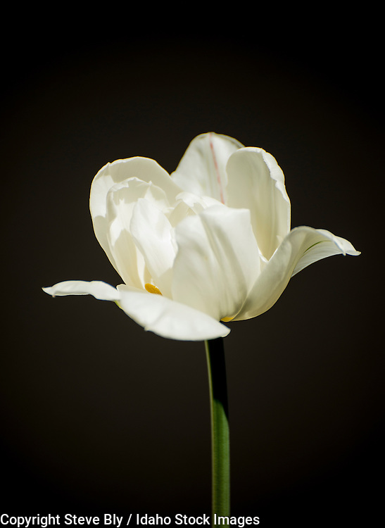 Flowers, Close-up of white Lisianthus Tulip against dark background. USA