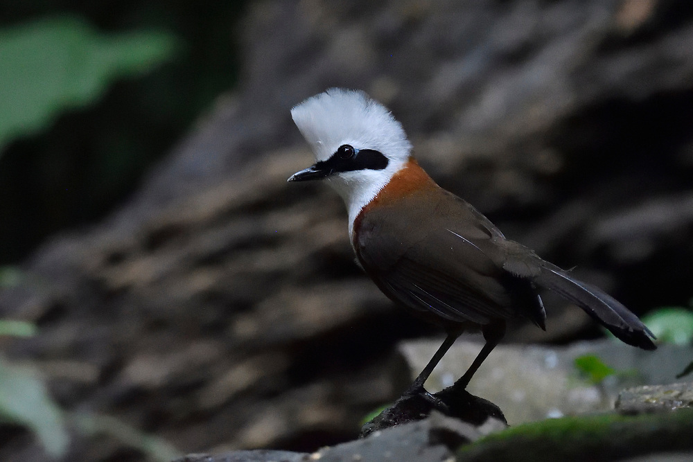 White-crested laughing thrush, Garrulax leucolophus, bird sitting on a branch at Tongbiguan nature reserve, Dehong Prefecture, Yunnan Province, China