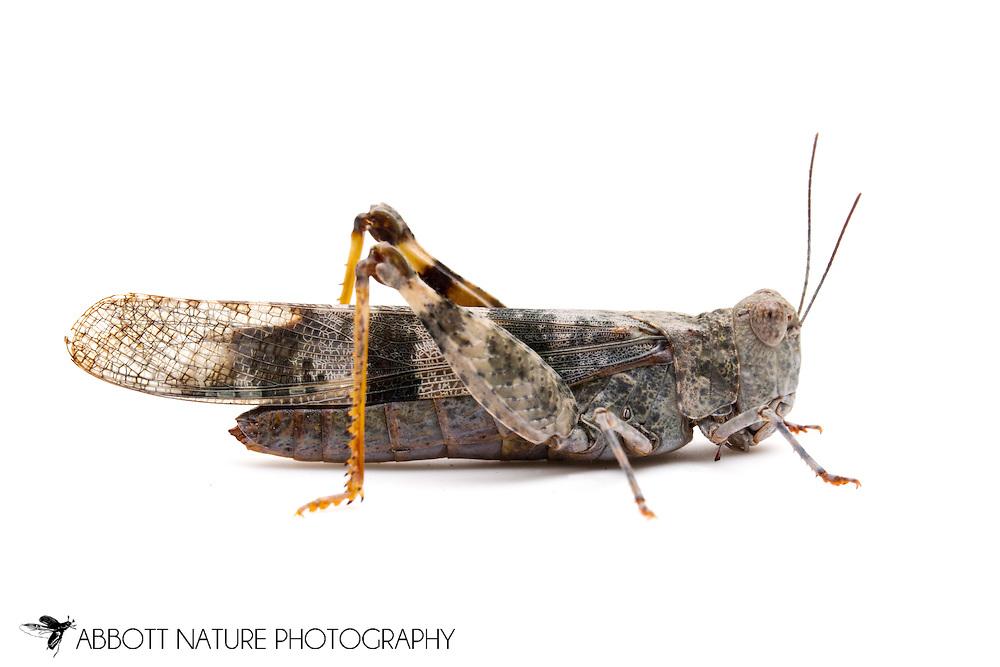 Pallid-winged Grasshopper (Trimerotropis pallidipennis)<br /> TEXAS: Bexar/Guadalupe County line<br /> rural property on Cibolo Creek<br /> 29.45749&deg; -98.12862&deg;<br /> 20-Oct-2012<br /> J.C. Abbott &amp; K.K. Abbott #2628
