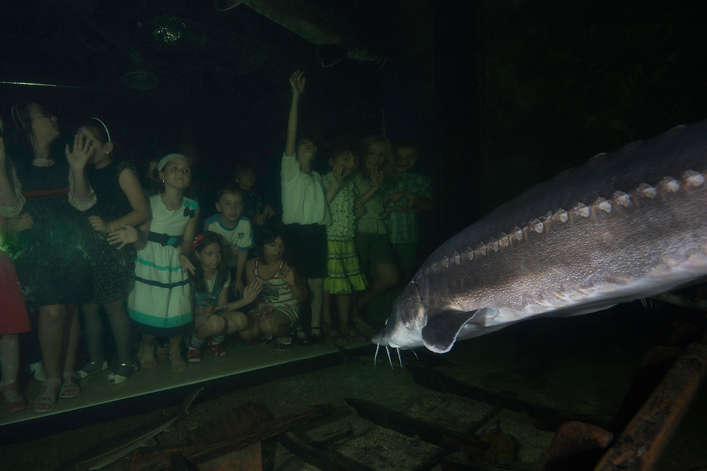 Spectators looking at the beluga, sometimes called European sturgeon (Huso huso), anadromous fish in the sturgeon family. Captive (image shot in a large aquarium) at Danube Delta Eco Tourism Museum Center, Tulcea, Romania. DIGITALLY CLEANED. Heavily fished for the female's valuable roe—known as beluga caviar— the beluga is a huge and late-maturing fish that can live for 118 years.IUCN classifies the beluga as critically endangered. It is a protected species listed in appendix III of the Bern Convention, and its trade is restricted under CITES appendix II. The Mediterranean population is strongly protected under appendix II of the Bern Convention, prohibiting any intentional killing of these fish.