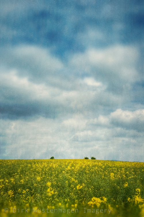 Canola blossoms in Spring<br /> <br /> License: http://www.trevillion.com/search/preview/field-of-rapeseed-in-summer/0_00217938.html