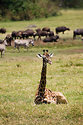 (Giraffa camelopardalis) An adult Giraffe of the Masai race lays on the ground. This is unusual behavior for a giraffe because it is very difficult for them to rise quickly from this position, so they are very vulnerable to attack. Giraffes will only do this when there is a history of a lack of predator species within an area. Arusha National Park, Tanzania.