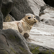 A weaned harbor seal rests along the shoreline. Seattle, Washington