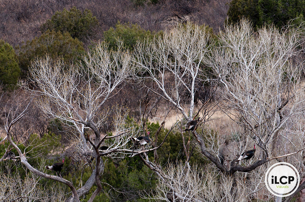 Wild turkeys (Meleagris gallopavo) roosting.