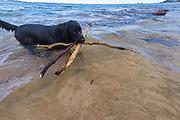 Black Labrador Retriever retrieving sticks from the ocean, Aliomanu, Kauai, Hawaii