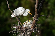 New Great Egret Family in nest with adult
