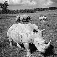 Endangered Rhinos at The Wilds, Eastern Ohio