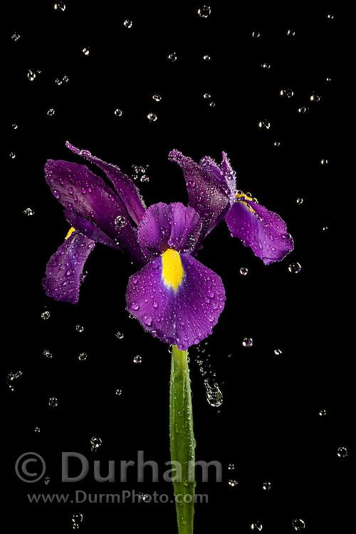 A blue magic hybrid iris derived from the north african iris (Iris tingitana) and the spanish iris (Iris xiphium) in rain.