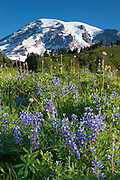 Lupine blooms in the Paradise alpine wildflower meadow in late summer in Mount Rainier National Park, Washington.